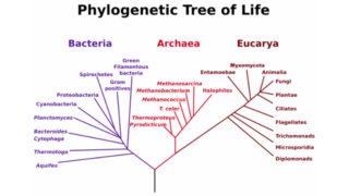 640px-PhylogeneticTree